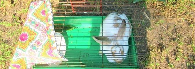Ktoś podrzucił królika pod jedną z posesji w Rybniku - Serwis informacyjny z Rybnika - naszrybnik.com