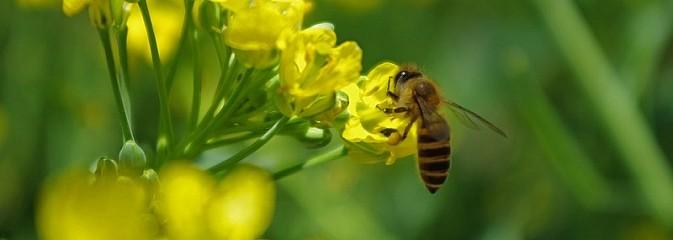 Światowy dzień pszczół, czyli Jej Wysokość Pszczoła - Serwis informacyjny z Rybnika - naszrybnik.com