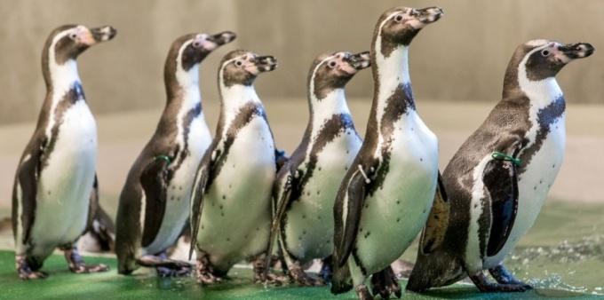 Pingwiny wróciły na Śląsk